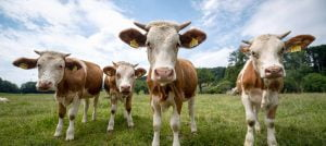 You can run out in the open air: calves on a pasture in Irschenberg, Bavaria